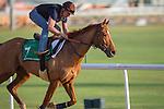MEYDAN,DUBAI-MARCH 24: Gailo Chop,trained by Antoine de Watrigant,exercises in preparation for the Dubai Sheema Classic at Meydan Racecourse on March 24,2016 in Meydan,Dubai (Photo by Kaz Ishida)