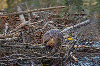 North American Beaver (Castor canadensis) walking on top of winter food cache.  British Columbia, Canada.  Fall.  In late summer/fall beavers cut down many bushes and trees and haul them back to their lodge area to store for winter food.  Most of this food cache is underwater (though as one sees here quite abit sticks above too) where the beavers can access the limbs and branches once the pond freezes over.