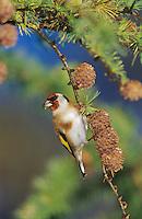 European Goldfinch, Carduelis carduelis, adult eating on cones of European Larch (Larix decidua) , Unteraegeri, Switzerland,Europe