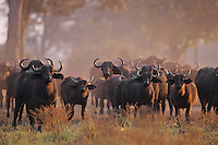 African cape buffalo (Syncerus caffer) herd, Mana Pools National Park, Zimbabwe.  Early morning in mopane woodland.