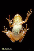 FR16-014b  Spring Peeper Tree Frog - climbing on glass window -  Pseudacris crucifer, formerly Hyla crucifer