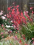 Red Watsonia