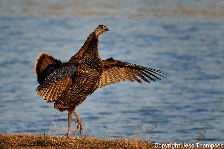 Turkey hen in early morning light