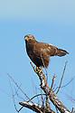 00585-001.07 Rough-legged Hawk Buteo lagopus dark morph is perched on snag during winter.  Predator, bird of prey, raptor, hunt.  V3L1
