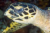 Hawksbill Turtle Head, Eretmochelys imbricata, Yap, Micronesia, Pacific Ocean