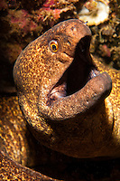 An underwater closeup of a yellowmargin moray taken along the Waianae coast of O'ahu.