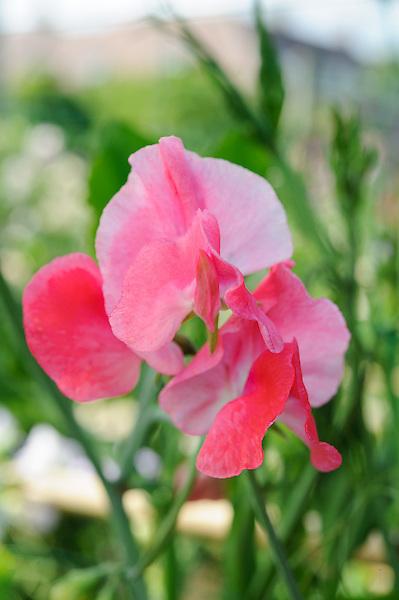 Lathyrus Odoratus Geranium Pink