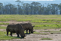 Two Southern White Rhinoceroses, Ceratotherium simum simum, in Lake Nakuru National Park, Kenya. A Cattle Egret, Bubulcus ibis, forages at their feet.