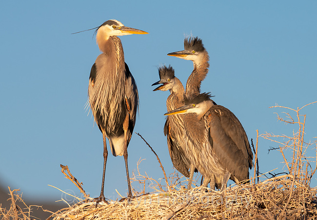 Great Blue Heron (Ardea herodias) adult with chicks at the nest. Lake County, Oregon. June.