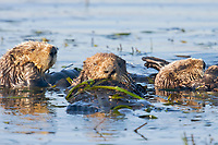 USA, California, Moss Landing, Sea otters (Enhydra lutris nereis)