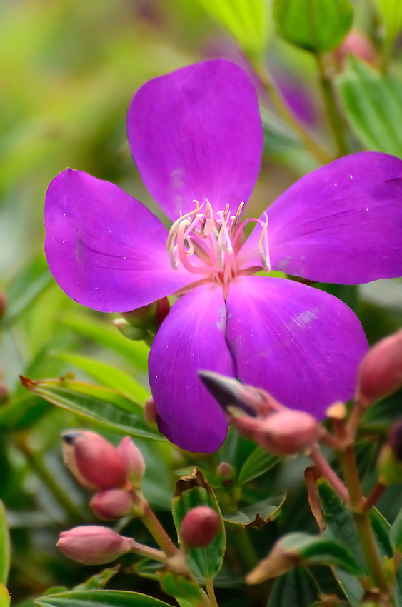 Glorious Purple of a sping flower in Whan Chai district, Hong Kong