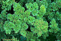 HS35-004x  Curly Parsley - Forest Green variety - Petroselinum crispum