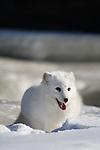 Arctic fox (Alopex lagopus) digging in the snow