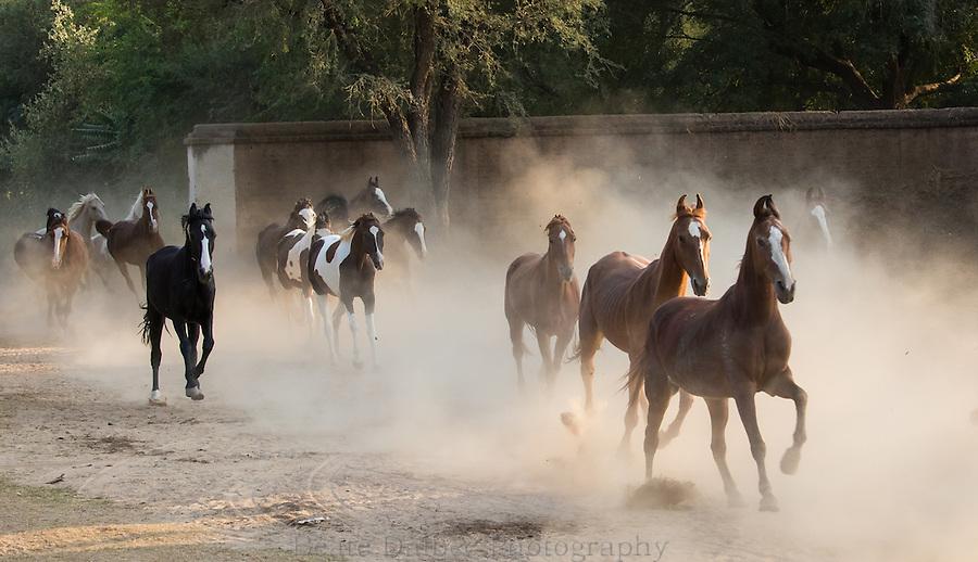 Marwari mares in Nawalgarh, Rajasthan, India Marwari mares running, Nawalgarh, Rajasthan, India