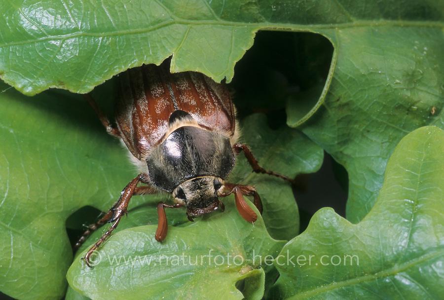 Maikäfer, Gemeiner Maikäfer, Feld-Maikäfer, Feldmaikäfer, Mai-Käfer, Melolontha melolontha, frisst an Eiche, maybeetle, may-beetle, common cockchafer, maybug
