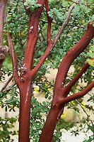 Arctostaphylos hooveri  (Hoover's Manzanita) bark detail