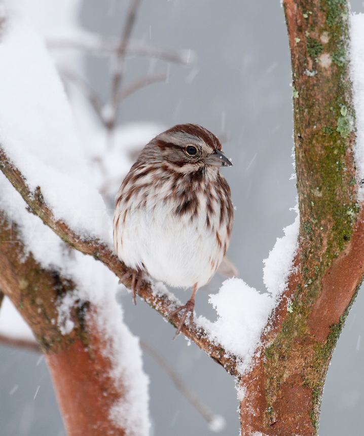 White-crownded Sparrow in snow
