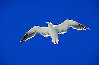 White seagull with black feathers at wintips glides nearly overhead. Wings held in slight M-shaped platform. High sun highlights cheek and makes feather tips luminous. Crisp blue sky. San Francisco California USA.