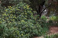 Berberis 'Golden Abundance' (Golden Abundance Oregon Grape), aka Mahonia, yellow flower California native shrub; Rancho Santa Ana Botanic Garden