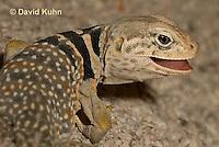 0612-1017  Displaying Teeth, Great Basin Collared Lizard (Mojave Black-collared Lizard), Crotaphytus bicinctores  © David Kuhn/Dwight Kuhn Photography