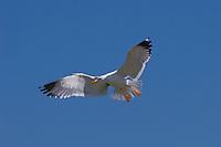 Heringsmöwe, Herings-Möwe, Heringsmöve, Möwe, Larus fuscus, Lesser Black-backed Gull, Goéland brun, im Flug, Flugbild