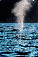 fin whale, Balaenoptera physalus, spouting, Sonora, Mexico, Sea of Cortez, Pacific Ocean