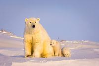 polar bear, Ursus maritimus, mother with newborn spring cubs newly emerged from their den, mouth of Canning River along the Arctic coast, eastern Arctic National Wildlife Refuge, Alaska, polar bear, Ursus maritimus