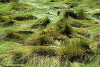 1G07-002a   Salt Meadow Hay - cord grass, salt marsh, coast - Spartina patens