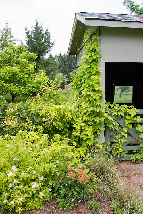 Spiraea in bloom in summer, Humulus vine growing up along barn shed