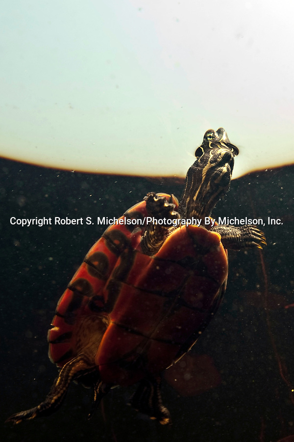 Plymouth Red-belly Cooter, endangered specie