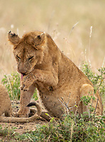 A Lion cub, Panthera leo melanochaita, licks its injured front left paw in Maasai Mara National Reserve, Kenya.