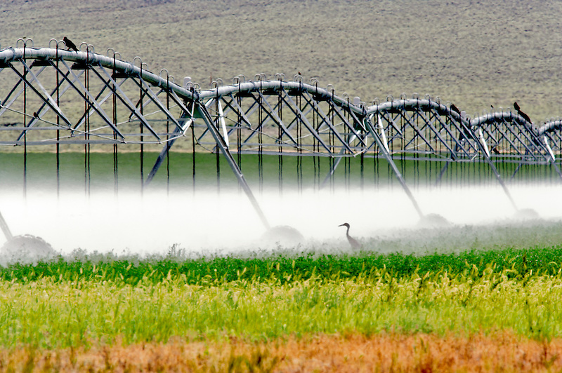 Sand Hill Cranes under irrigation water. Near the Steens Mountain. Oregon