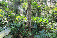 In a Marantaceae forest, the honey-hunters climb the lianas to harvest a bees nest that had been located in the night. The honey-hunters get up before dawn to inspect the traps but also to be able to locate in the silence the sound of the bees fanning. A branch is cut near the tree to mark their discovery.///Dans une forêt à Marantaceae, les chasseurs montent aux lianes pour récolter un nid d'abeilles  qui a été repéré la nuit. Les chasseurs se lève avant l'aurore pour inspecter les pièges mais aussi pouvoir dans le silence de la fin de la nuit repérer au son la ventilation des abeilles. Une branche est coupé près de l'arbre pour marquer la propriété de la découverte.