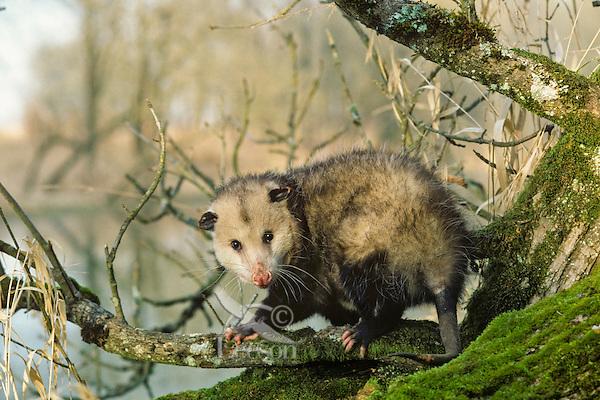 American or Virginia Opossum