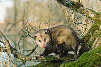 American or Virginia Opossum