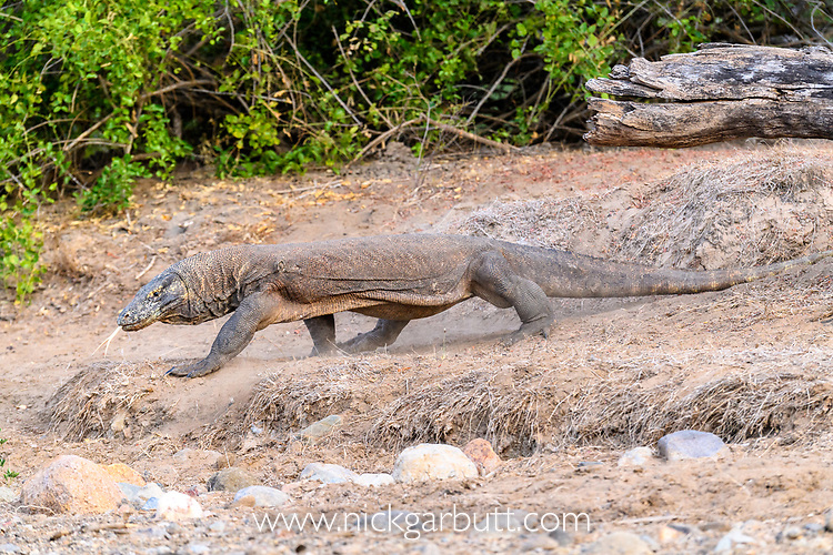 Large male Komodo dragon or Komodo monitor (Varanus komodoensis) in open savannah. Rinca Island, Komodo National Park, Indonesia. Endangered.