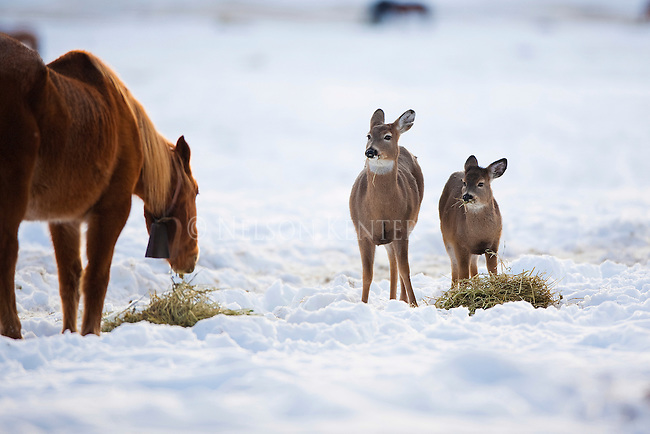 Whitetail does find the best available food in winter to be a horse's hay