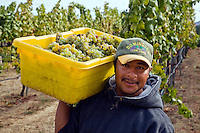 A farm worker picks SAUVIGNON BLANC grapes at JOULLIAN VINEYARDS - CARMEL VALLEY, CALIFORNIA MR