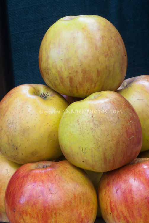 Malus apple Ribston Pippin, a very old classic English apple, is a triploid cultivar of apples, also known by other names including 'Essex Pippin', 'Beautiful Pippin', 'Formosa', 'Glory of York', 'Ribstone', 'Rockhill's Russet', 'Travers', and 'Travers's Reinette'.