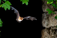 Greater Horseshoe Bat (Rhinolophus ferrumequinum) in flight, North Bulgaria, Bulgaria, Europe