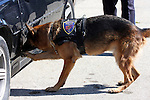 K-9 officer Bosco sniffing for drugs in a car during a drug search. Scratching indicates target found.  Germantown Police Department, Wisconsin