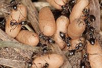 Schwarze Wegameise, Nest mit Eiern, Puppen und Arbeiterinnen, Mattschwarze Wegameise, Schwarze Gartenameise, Schwarzgraue Wegameise, Lasius s.str., wahrscheinlich Lasius niger, black garden ant, Common Black Ant