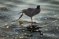 An American coot stretches a leg and shakes a foot while standing near the shore at a park along San Francisco Bay.