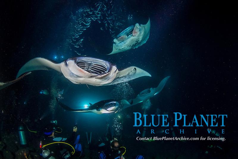 reef manta ray, Mobula alfredi, feeding frenzy at night, funneling plankton gathered around divers' artificial lights, dive site: Manta Heaven, Kona Coast, Big Island, Hawaii, USA, Pacific Ocean