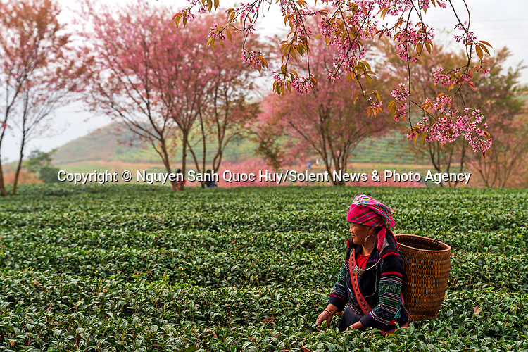 Pictured:   Women are pictured harvesting tea leaves under beautiful cherry blossom trees.<br /> <br /> H'mong and Dao women were captured harvesting Oolong tea in the Sapa Lao Cai region of northwest Vietnam.<br /> <br /> Explosions of pink blossoms speckle the green landscape of the tea hills as the women work to collect the leaves.  SEE OUR COPY FOR DETAILS.<br /> <br /> Please byline: Nguyen Sanh Quoc Huy/Solent News<br /> <br /> © Nguyen Sanh Quoc Huy/Solent News & Photo Agency<br /> UK +44 (0) 2380 458800