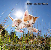 REALISTIC ANIMALS, REALISTISCHE TIERE, ANIMALES REALISTICOS, cats, paintings+++++,USLGSC162044520,#A#, EVERYDAY ,photos,fotos,pounce,cat,cats,kitten,kittens,Seth