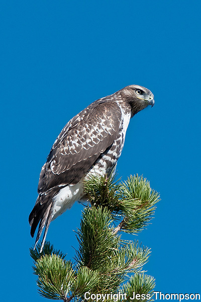 Red-tailed Hawk, Yellowstone National Park