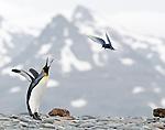 King Penguin (Aptenodytes patagonicus) displaying at hovering Antarctic Tern (Sterna vittata). Beach front, Salisbury Plain, South Georgia, South Atlantic.