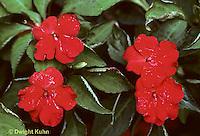 BZ01-004c  Genetics - impatiens showing dominant red variety - (incomplete dominance series BZ01-003b,002c,004c,005j)