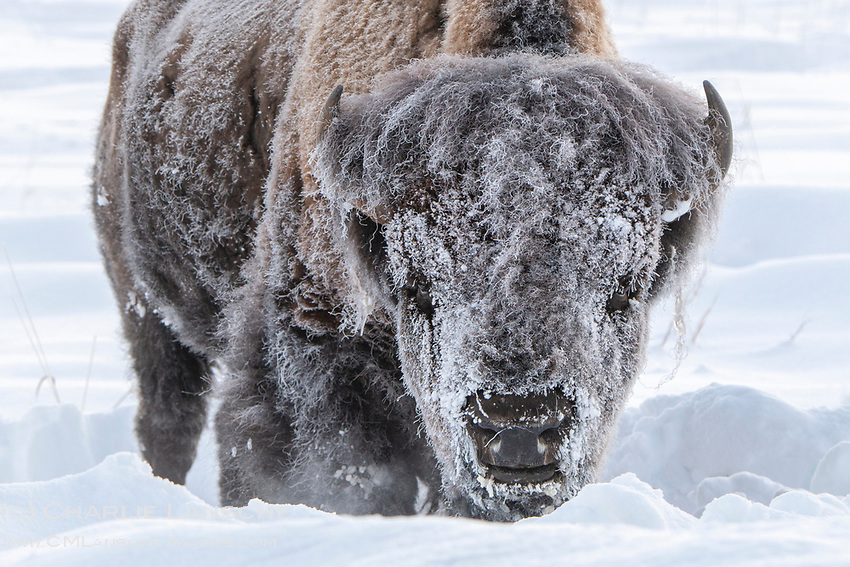 This is what 20 below zero does to a bison. And quite honestly, after weeks of relentless snow and wind up here in the Caldera, this image also reflects how I'm feeling about winter right now. Starting to look forward to spring -- which should arrive sometime in July.